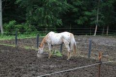 Voedend Paard Stock Fotografie