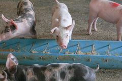 Voedend varken in landbouwbedrijf stock afbeelding