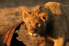 Voedende Afrikaanse leeuw royalty-vrije stock fotografie