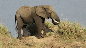 Voedende Afrikaanse olifant stock footage