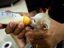 Voedende Babykatten de melk in de fles Royalty-vrije Stock Foto's