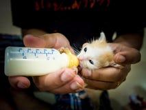 Voedende Babykatten de melk in de fles Stock Foto