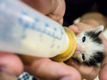 Voedende Babykatten de melk in de fles Stock Fotografie