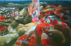 Voedende buitensporige karpervissen Stock Foto