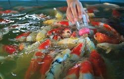 Voedende buitensporige karpervissen Royalty-vrije Stock Afbeeldingen