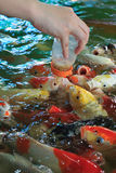 Voedende buitensporige karpervissen Royalty-vrije Stock Foto's