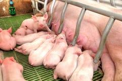 Voedende de babyvarkens van het mammavarken Stock Afbeelding