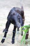 Voedende dieren op het landbouwbedrijf Royalty-vrije Stock Afbeelding