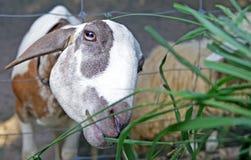 Voedende dieren op het landbouwbedrijf Stock Foto