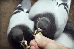 Voedende duif Royalty-vrije Stock Afbeeldingen