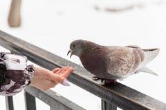 Voedende duiven met hun vingertoppen De winterdag in het stadspark stock afbeeldingen