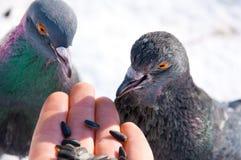 Voedende duiven van hand Stock Afbeelding