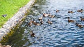 Voedende eenden met brood op het meer in stadspark stock video