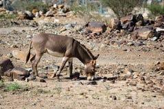 Voedende ezel op het gebied royalty-vrije stock afbeeldingen