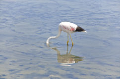 Voedende Flamingo Stock Foto