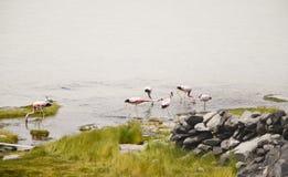 Voedende Flamingo's Stock Afbeelding