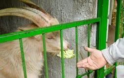 Voedende geit op het landbouwbedrijf Stock Afbeeldingen