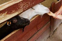 Voedende geiten bij de dierentuin Royalty-vrije Stock Foto's