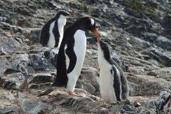 Voedende Gentoo-Pinguïnen Royalty-vrije Stock Afbeelding
