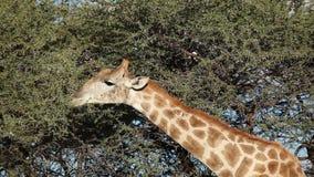Voedende giraf stock videobeelden