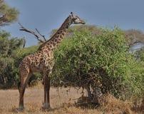 Voedende giraf (Amboseli NP, Kenia) Royalty-vrije Stock Afbeeldingen