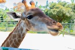 Voedende giraf in dierentuin royalty-vrije stock afbeelding