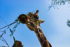 Voedende giraf in dierentuin stock foto