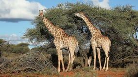 Voedende giraffen