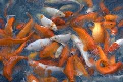 Voedende gouden vissen stock afbeelding