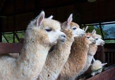 Voedende groep alpaca in de schuur Royalty-vrije Stock Foto's