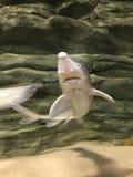 Voedende haaien royalty-vrije stock foto's