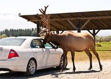 Voedende herten door het autoraam bij de het wilddierentuin Royalty-vrije Stock Foto's