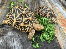 Voedende Indische schildpadden Royalty-vrije Stock Afbeeldingen