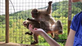Voedende Japanse macaque stock video