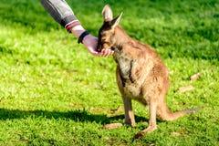 Voedende kangoeroe van hand Royalty-vrije Stock Foto