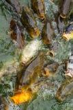 Voedende karpervissen Stock Afbeelding