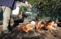 Voedende kippen Stock Afbeelding