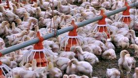 Voedende kippen op het landbouwbedrijf stock footage