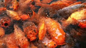 Voedende kleurrijke buitensporige karpervissen stock footage