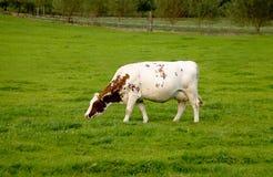 Voedende koe Stock Fotografie