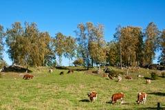 Voedende koeien. Royalty-vrije Stock Foto's