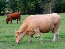 Voedende koeien Stock Foto