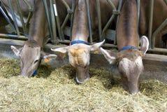 Voedende koeien Royalty-vrije Stock Afbeeldingen