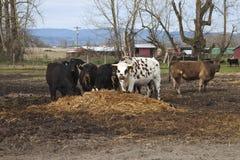 Voedende koeien en een stier, Oregon. Royalty-vrije Stock Afbeeldingen