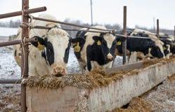 Voedende koeien op het landbouwbedrijf in de winter Royalty-vrije Stock Foto's