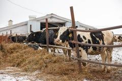Voedende koeien op het landbouwbedrijf in de winter Stock Afbeelding