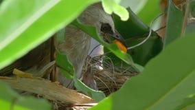 Voedende Kuikens 2 van de vogelmoeder stock videobeelden