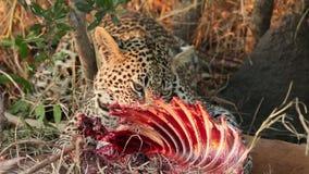 Voedende luipaard stock videobeelden