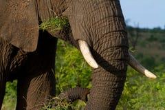 Voedende olifant Stock Afbeelding