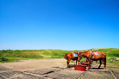 Voedende paarden stock foto